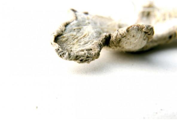Gingembre bio (zingiber officinale, ginger) cultivé par un producteur du Kerala, en Inde
