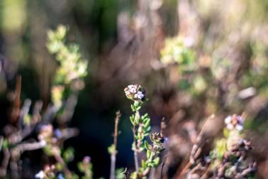 Thym bio et sauvage frais (thymus vulgaris) poussant dans la garrigue du Languedoc, en France