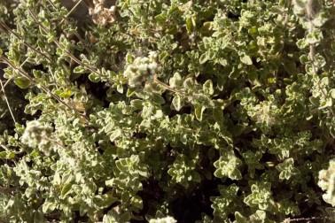 Zaatar bio et sauvage (origanum syriacum) poussant dans les alentours de Jénine, en Palestine