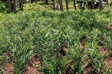 Plants de gingembre bio dans le champs du producteur d'épices avec qui nous travaillons dans le Kerala, Inde
