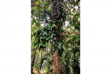 Lianes de poivre vert bio poussant dans la région Wayanad, en Inde
