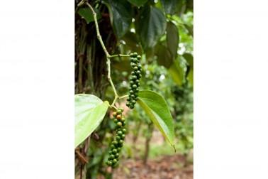 Grappe de poivre vert bio poussant dans la région Wayanad, en Inde