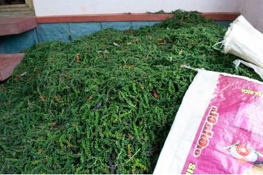 Poivre vert bio coupé et mise en tas