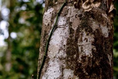 Lianes de poivre noir bio chez notre producteur en Indonésie