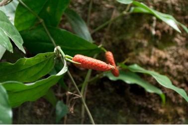 Poivre long bio de Sulawesi frais sur sa liane