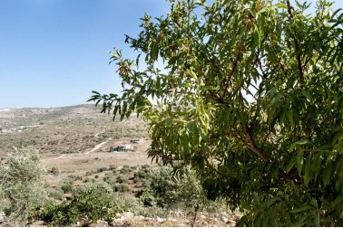 Champ d'amandiers bio en Palestine, chez le producteur avec qui Epices Shira collabore