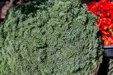 Fleurs de fenouil bio dans le champs du producteur d'épices avec qui nous travaillons