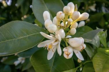 Eau de fleur d'oranger de Ligurie