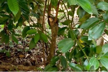Canneliers de Ceylan sauvage (cinnamomum verum, cinnamome) poussant au Sri-Lanka