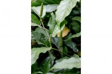 Grand poivre long frais d'Assam (piper longum, long pepper) sauvage vendu sur le site de Epices Shira