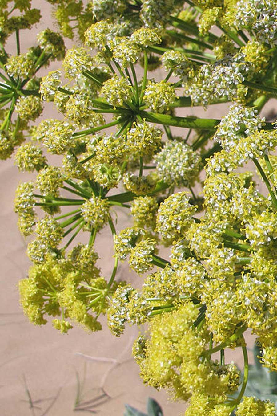Plantes produisant de la résine d'ase fétide