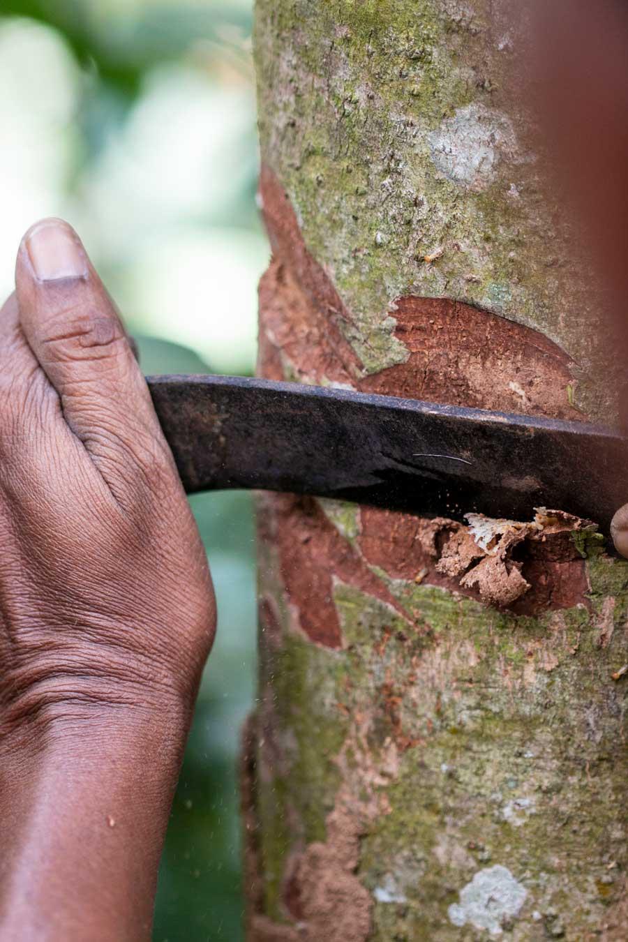 Producteur en train de gratter le tronc d'un cannelier avec une machette afin de récupérer son écorce