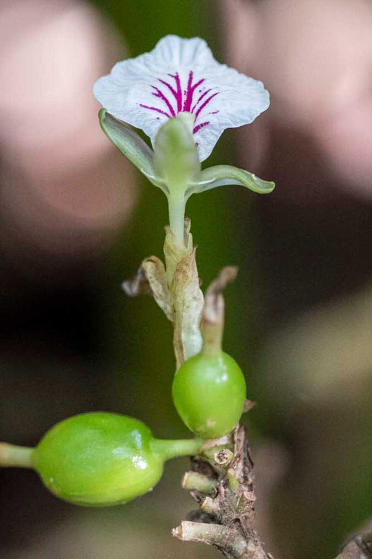 Fleurs de cardamome