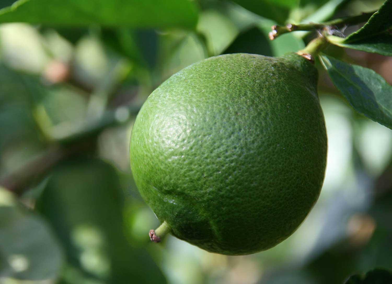 Citron vert frais d'Iran