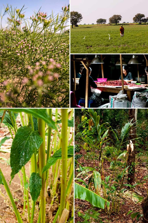 Epices fraîches et sèches servant à faire notre mélange Colombo biologique