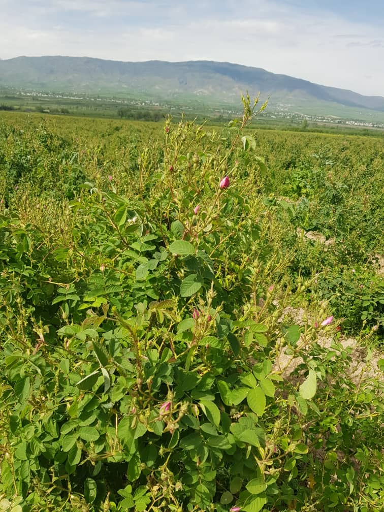 Champs de rosiers en Iran