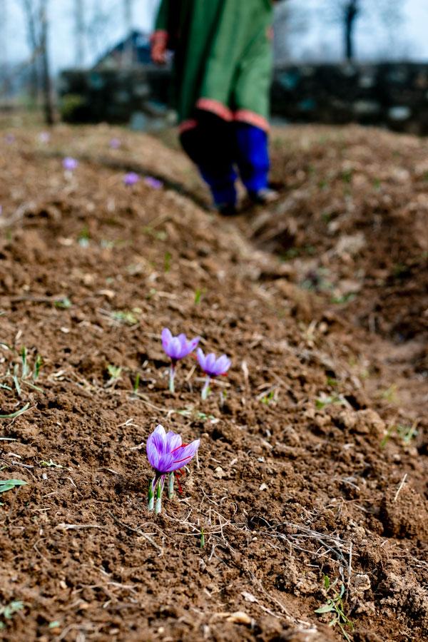 fleurs de safran dans le champ