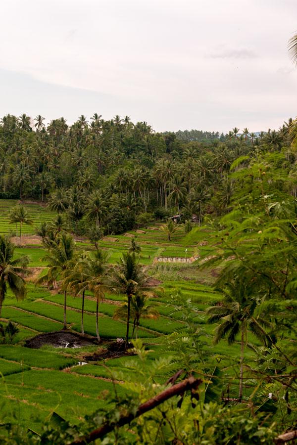 Cocotiers en Inde