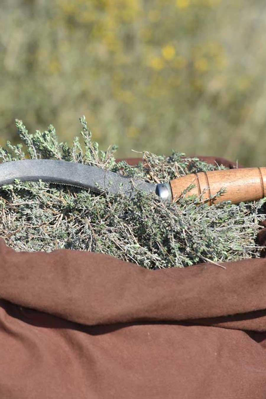 Cueillette d'herbes sauvages dans le Languedoc, en France