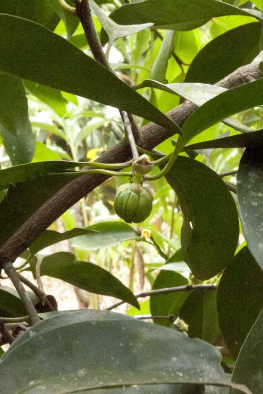 Kudam puli frais sur l'arbre