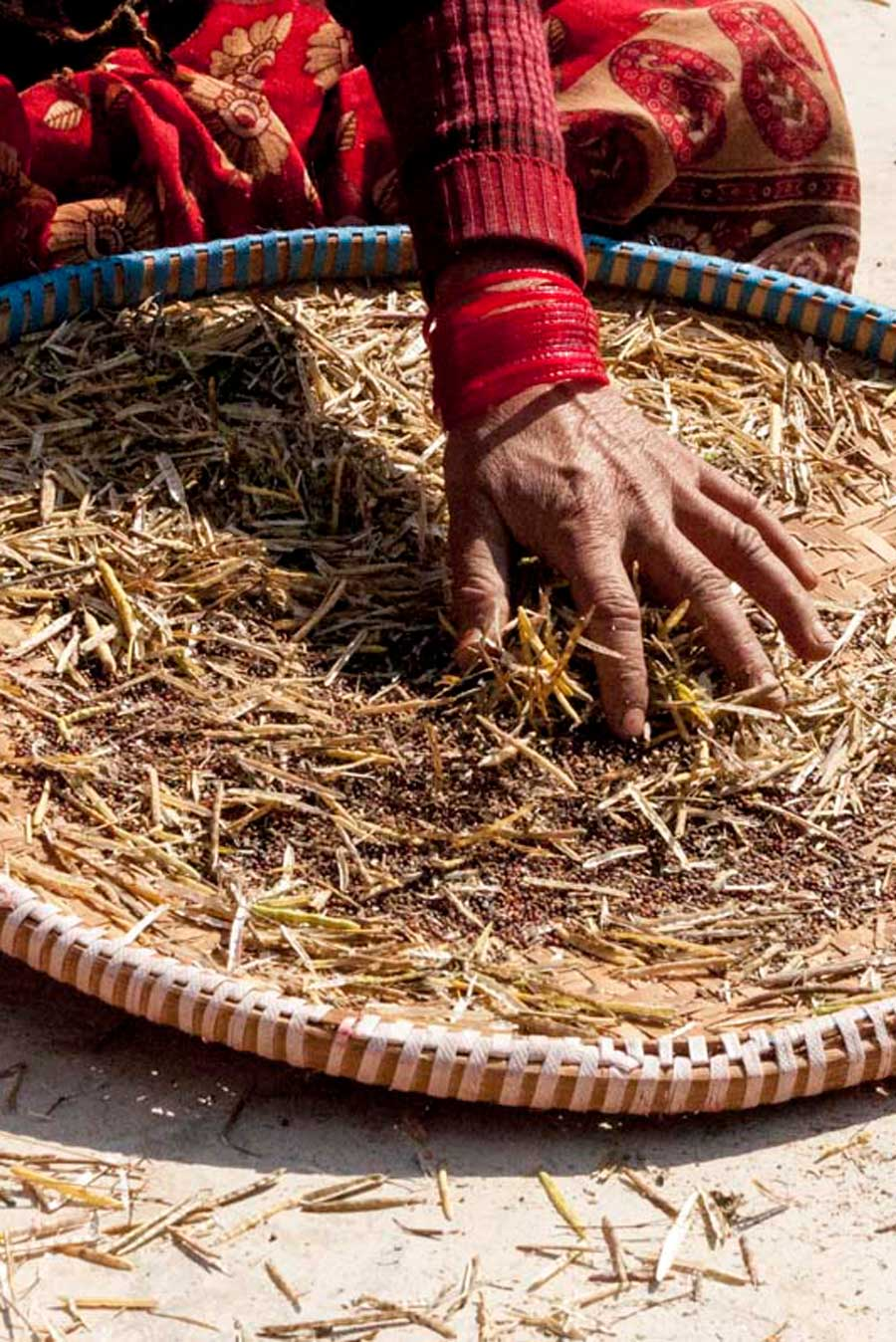 Tri de la moutarde noire, en Inde
