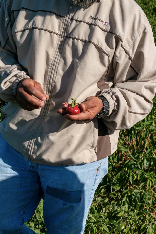 Producteur de piments à Murcia, en Espagne, avec qui nous collaborons