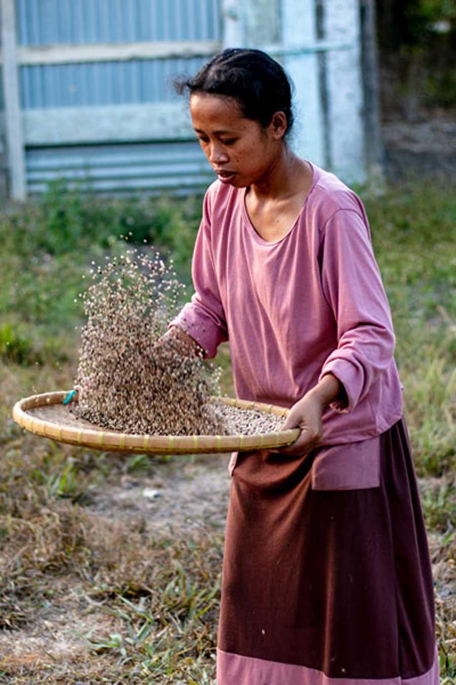 Tri du poivre blanc biologique sur l'île de Sumawesi