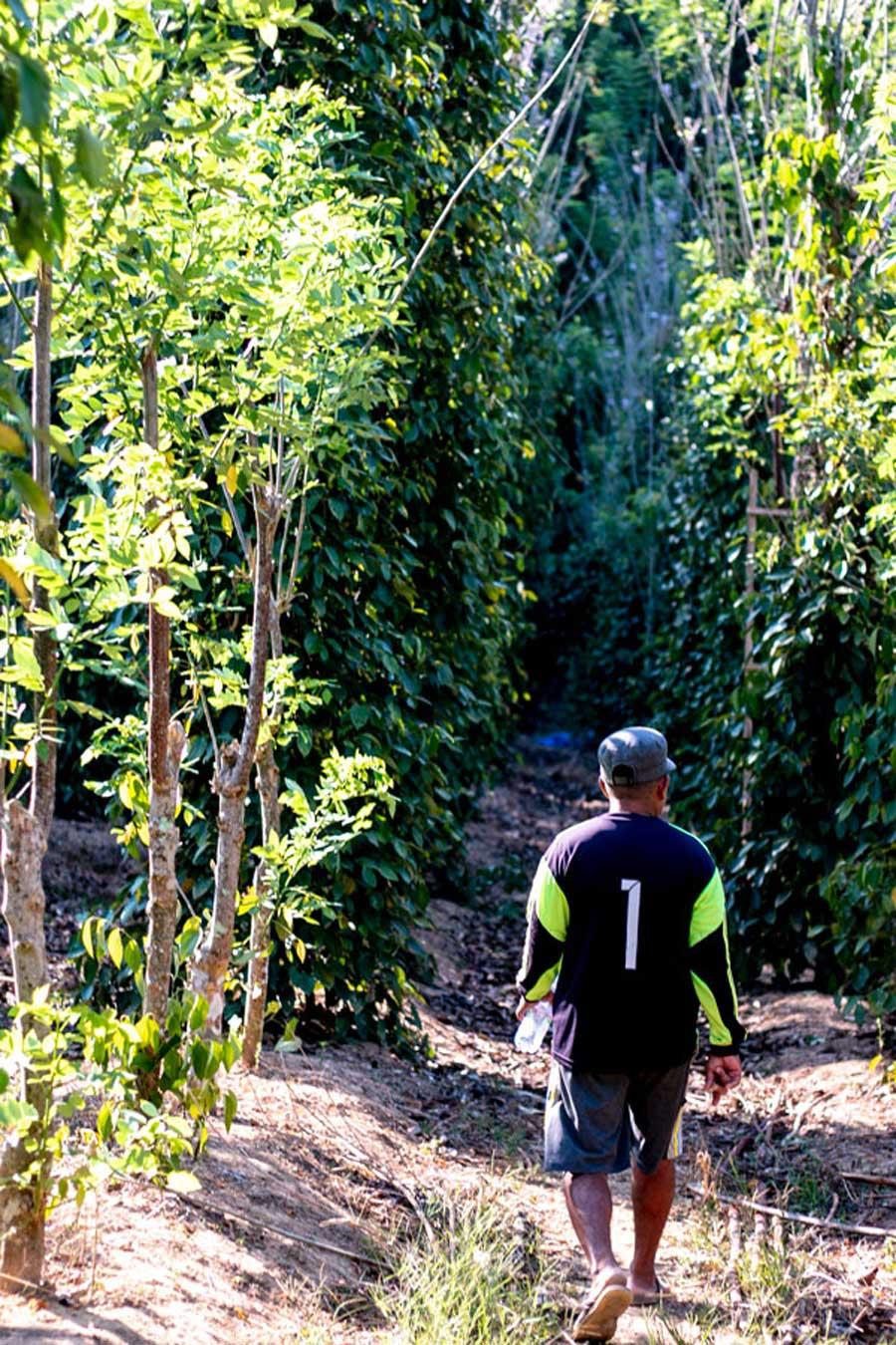 Cueilleurs de poivre noir sur l'île de Sulawesi, en Indonésie
