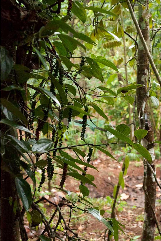 Poivre vert dans du Kerala, en Inde