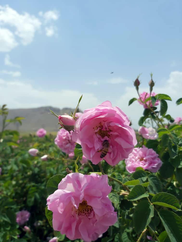 Roses d'Ispahan en pleine nature