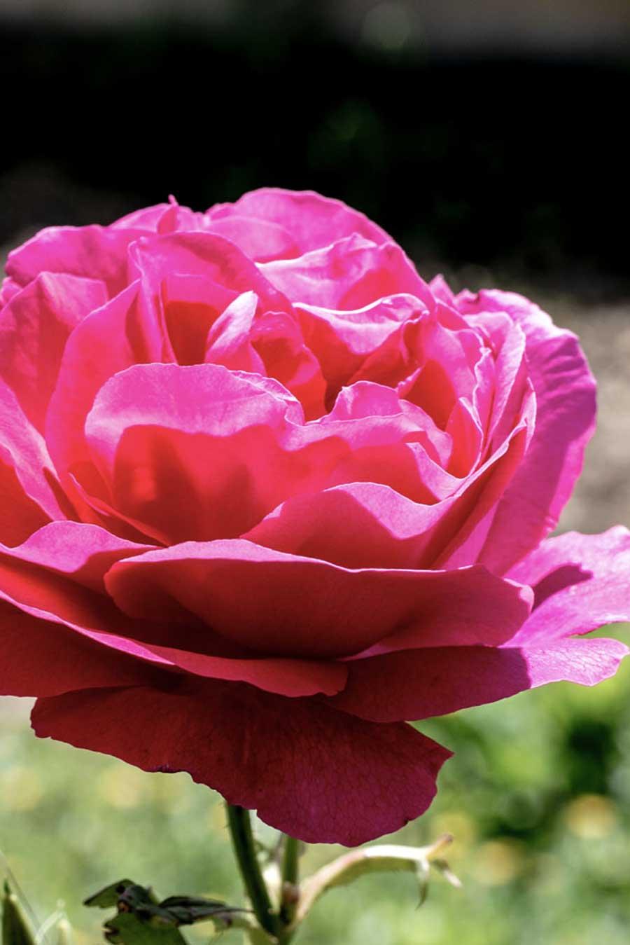 """Varité de rose """"Rosa bruna"""" originaire de Ligurie, en Italie"""