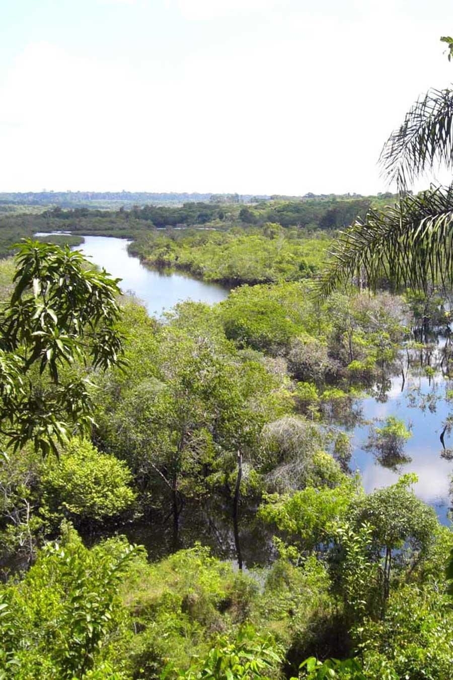 Forêt d'Amazonie centrale où pousse la fève tonka