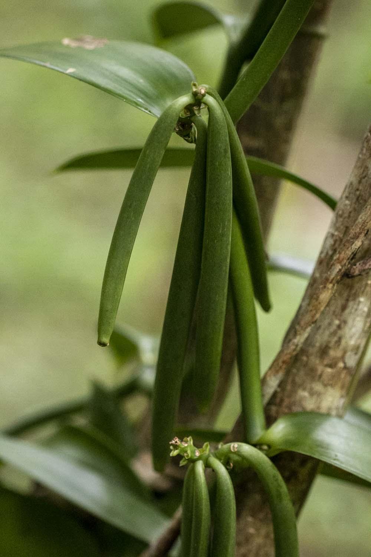 Vanillier biologique sur l'île de Pemba, en Tanzanie